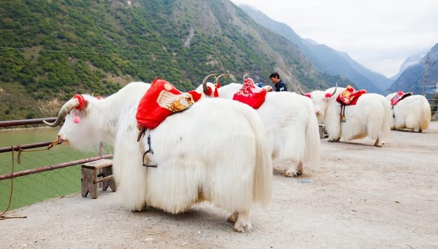 Cưỡi Bò Tây Tạng trong tour Cữu Trại Câu
