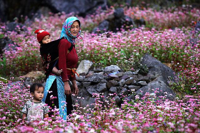 hoa Tam Giác Mạch Hà Giang lại nở rộ vào những ngày đông lạnh giá